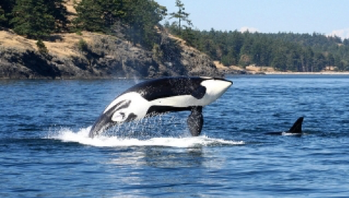 Image shows a whale breaching the surface of the bay